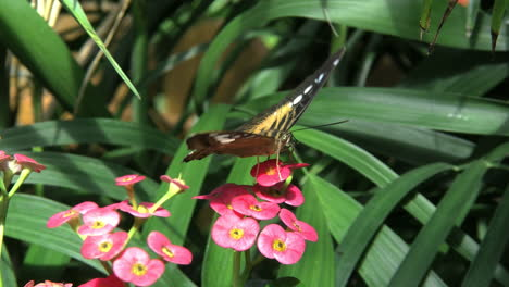 Costa-Rica-Brown-Clipper-butterfly-feeds-on-a-red-flower