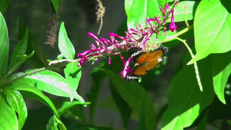 Costa-Rica-Leopard-Lacewing-butterfly