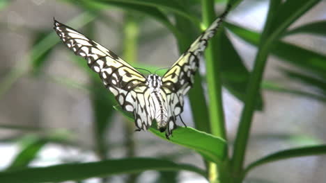 Costa-Rica-Paper-Kite-Butterfly