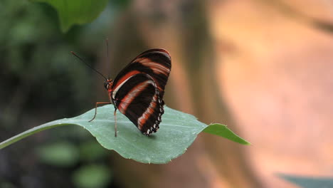 Costa-Rica-black-red-and-yellow-butterfly-on-a-leaf-mov