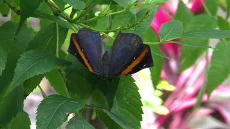 Costa-Rica-blue-black-butterfly-with-an-orange-strip-rests-on-a-leaf