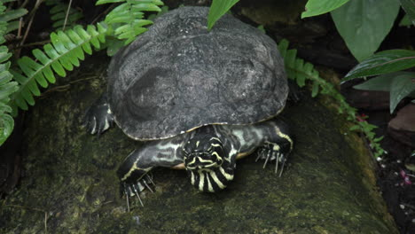 Costa-Rica-painted-turtle-moves-its-head