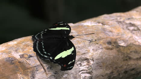 Costa-Rica-rainforest-black-and-yellow-butterfly