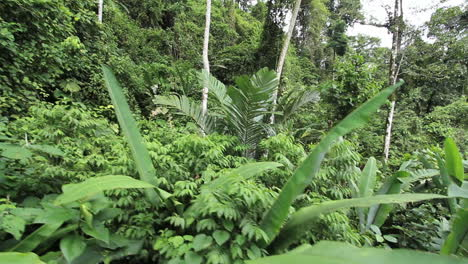 Costa-Rica-rainforest-large-leaves-block-view-on-occasion