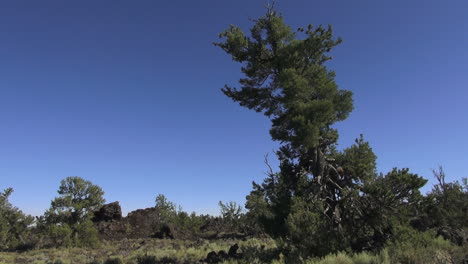 Lava-Beds-National-Monument-tree