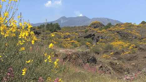 Sicily-Etna-lava-and-broom-flowers