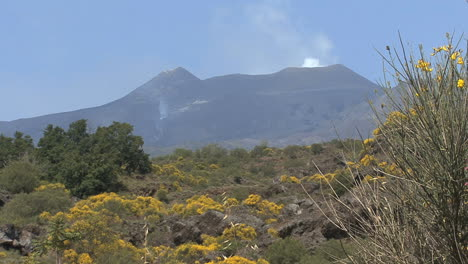 Sicily-Etna-lava-and-flowers-of-broom-plant