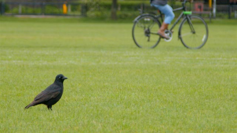 Long-Shot-of-Crow-In-Park-