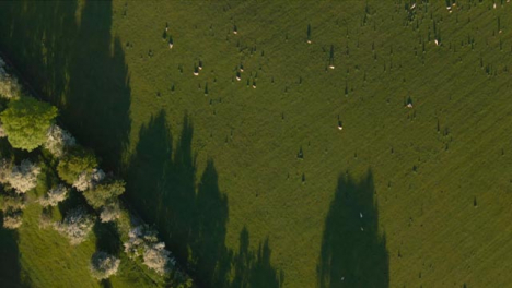 Drone-Shot-Flying-Over-Agricultural-Field-with-Sheep-