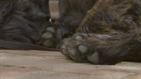 Close-Up-Shot-of-Small-Black-Dogs-Paws-as-He-Relaxes-In-Shade