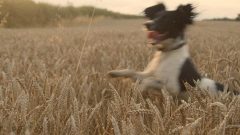 Panning-Shot-of-Dog-Playing-In-a-Wheat-Field