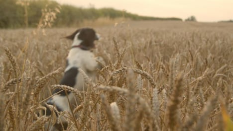 Medium-Shot-of-Dog-Playing-In-a-Wheat-Field
