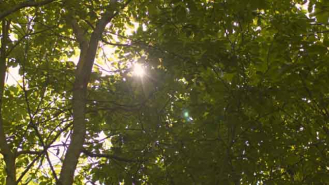 Low-Angle-Shot-Looking-Up-at-Sun-Bursting-Through-Tree-Leaves