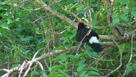 Iguazu-Argentina-toucan-in-the-bushes