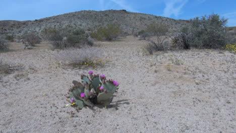 California-Beavertail-cactus-blooming