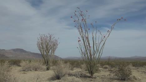 Joshua-Tree-National-Park-California-Ocotillo-Patch-plants