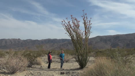 Joshua-Tree-National-Park-California-Ocotillo-Patch-with-visitors
