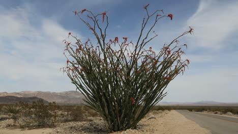 Joshua-Tree-National-Park-California-very-large-ocotillo