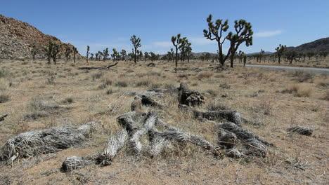 California-Joshua-Tree-National-Park-with-dead-California-Joshua-Trees-on-ground