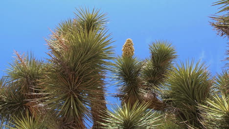 Joshua-Tree-California-bloom-aga
