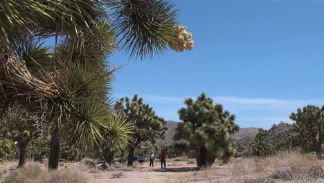Joshua-Tree-California-bloom-frames-view