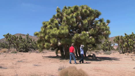 California-Joshua-Tree-inspected-by-tourists