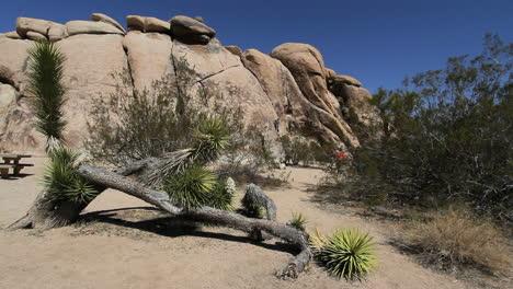 California-Joshua-Tree-on-the-ground-with-rocks-behind