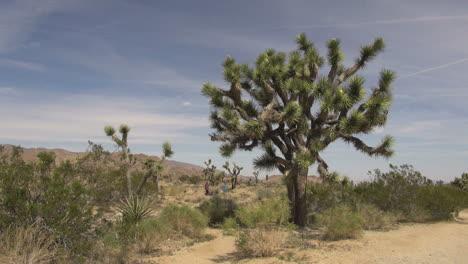 California-Joshua-Tree-in-the-desert