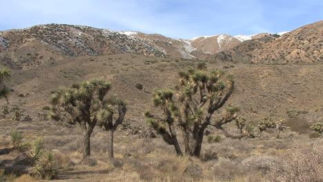California-Joshua-trees-and-snow-on-hills