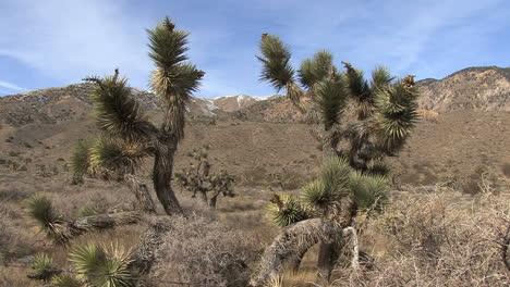 California-Joshua-trees-frame-peak