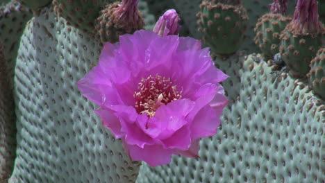 California-Beavertail-cactus-bloom