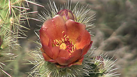 California-cholla-bloom