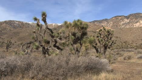 California-joshua-trees-and-landscape