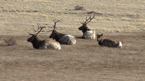 Colorado-Varios-Alces-Machos