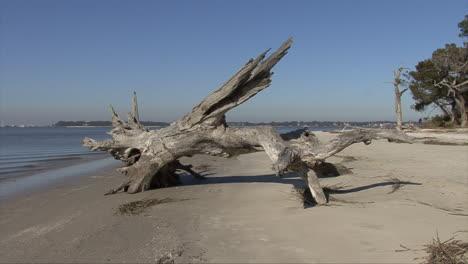 La-Base-Del-árbol-De-Madera-Flotante-De-Florida-En-La-Playa