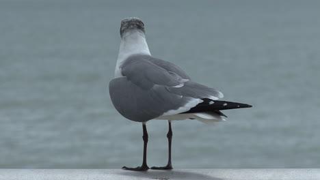 Florida-gull-flies-away-sound