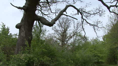 Illinois-large-tree-in-spring