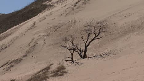 Michigan-zooms-in-tree-overtaken-by-sand-dune