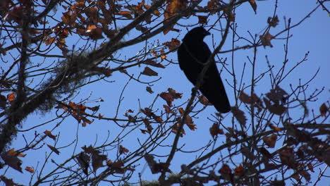 Naturaleza-Cuervo-En-Un-árbol-Vuela-Lejos