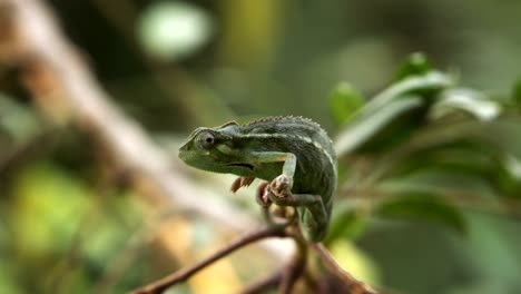 Chameleon-Perched-on-Branch