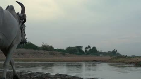 Bullock-carts-crossing-small-stream-in-cauvery-river-basin-in-Trichy-to-excavate-sand-for-building-construction