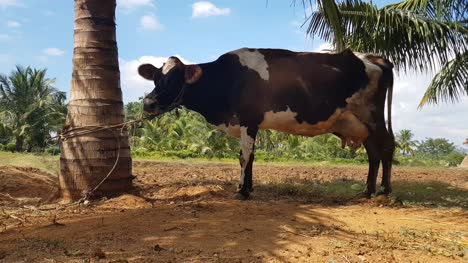 A-jersey-cow-tied-to-a-palm-tree-in-a-village-farm