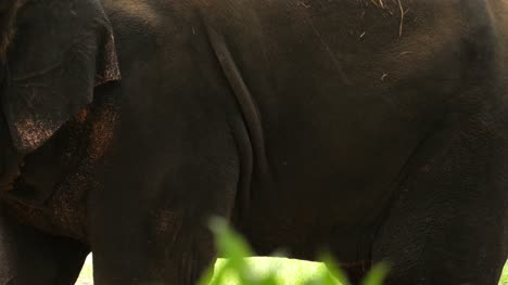 Closeup-of-a-domesticated-dirty-asian-elephant-standing