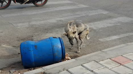 A-sick-stray-dog-eating-from-garbage-can-on-road