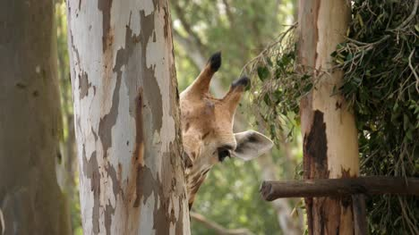 Closeup-of-a-giraffe-eating-the-barks-from-an-eucalyptus-tree-trunk-on-a-bright-sunny-day