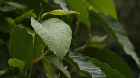 Slow-motion-closeup-of-a-fresh-green-leaf-during-light-drizzling-rain