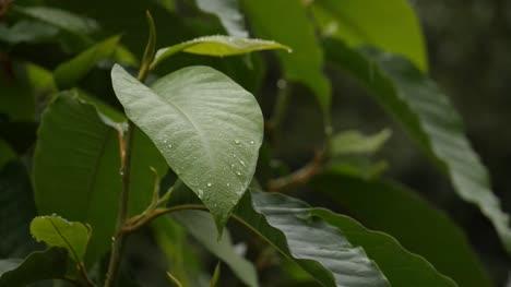 Zeitlupe-Nahaufnahme-Eines-Frischen-Grünen-Blattes-Bei-Leichtem-Nieselregen