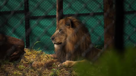 Medium-closeup-of-a-male-Asiatic-lion-sitting-inside-an-enclosure-in-a-zoo-in-India