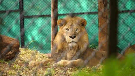 Medium-closeup-of-a-male-Asiatic-lion-sitting-inside-enclosure-in-zoo-in-India