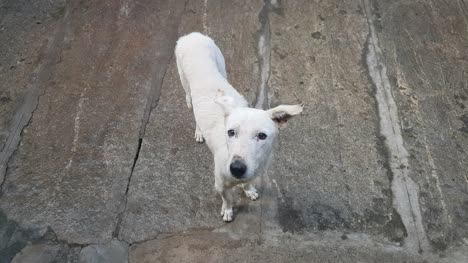 Un-Perro-Callejero-Blanco-Atrapando-Galletas-Lanzadas
